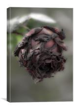 Death of a rose., Canvas Print