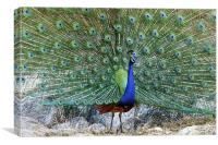 Peacock in full Display, Canvas Print