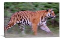 Running tiger, Canvas Print