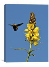Bee & Peanut Butter Cassia, Canvas Print