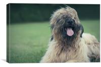 Playful Briard., Canvas Print