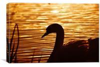 Golden Swan, Sunset, Canvas Print