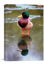 Duck, reflection, Canvas Print