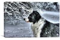 Boarder Collie, dog, Canvas Print
