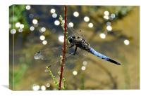 Dragonfly Closeup, Canvas Print