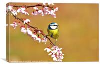 Blue Tit on blossom, Canvas Print