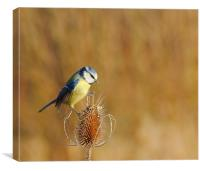 Blue Tit on Teasel, Canvas Print