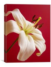Lily, Canvas Print