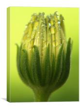 Osteospermum Bud, Canvas Print