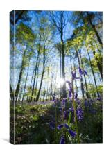Bluebell Woods , Canvas Print