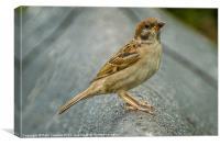 Eurasian Tree Sparrow (Passer montanus) Portrait, Canvas Print
