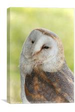 Sleepy Barn Owl, Canvas Print