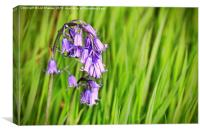 Evening Meanderings Bluebells, Canvas Print