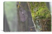 Spider web and moss on tree., Canvas Print