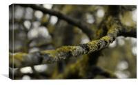 The Lichen Branch, Canvas Print