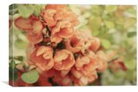 Faded Japonica, Canvas Print