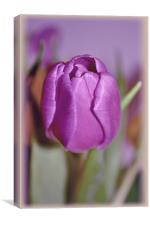 Purple Tulip.