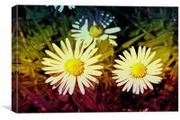 Daisy flowers., Canvas Print