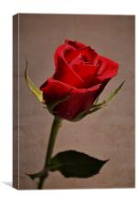 Red rose.., Canvas Print