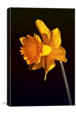 Daffodil., Canvas Print