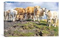 Curious Cows, on a hill!, Canvas Print