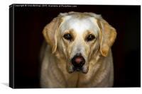 Golden Labrador, Canvas Print