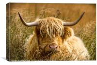 Highland Cattle, Canvas Print