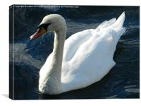 swan at Oban, Canvas Print