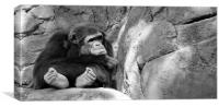 pouting chimp, Canvas Print