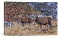 Glen Strathfarrer Stags, Canvas Print