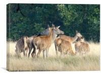 Deer Gathering                    , Canvas Print