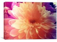 Colourful Chrysanthemum, Canvas Print