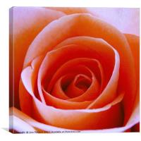 Orange Rose , Canvas Print