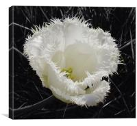 Fringed Tulip, Canvas Print
