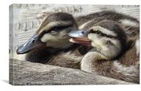 Baby Ducklings, Canvas Print