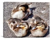 Three Ducklings, Canvas Print