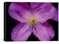 Clematis Flowers, Canvas Print