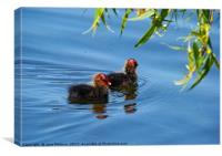 Two Baby Coots, Canvas Print