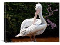 Pelican , Canvas Print