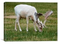 White Deer Grazing, Canvas Print