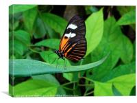 Heliconius Doris Butterfly                 , Canvas Print