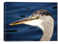 A Herons Head                          , Canvas Print