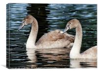 Two Cygnets                         , Canvas Print