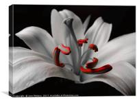 Beautiful Lily, Canvas Print