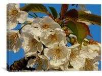 A Branch of White Blossom                      , Canvas Print