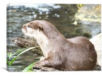 Asian Short Clawed Otter                          , Canvas Print