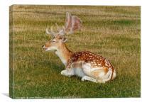 Fallow Deer Resting                       , Canvas Print