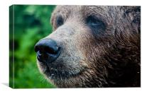 Close-Up Of A Wild Canadian Bear, Canvas Print
