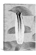 Black and White Lily Bud, Canvas Print