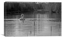 Black and White Swans, Canvas Print